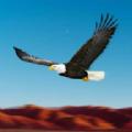 鸟类比赛模拟器老鹰比赛中文版